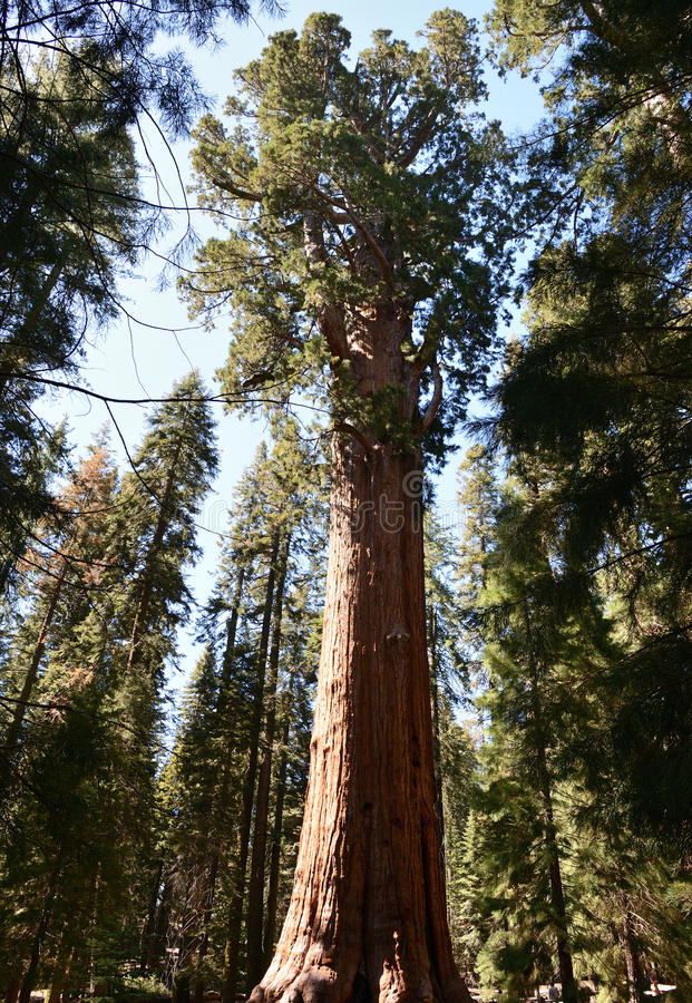 Giant trees in Sequoia National Park, California stock photos