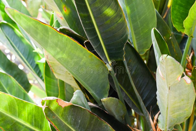 Giant troipcal leaf in Rain forest style environment stock image