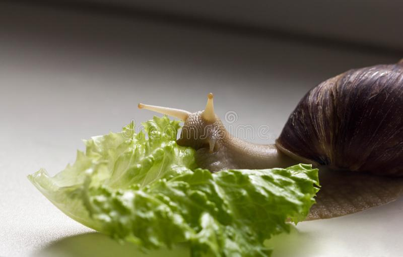 Giant tropical brown snail Achatina eating green lettuce over white background. Snail with shell. Close-up of mollusk royalty free stock photos