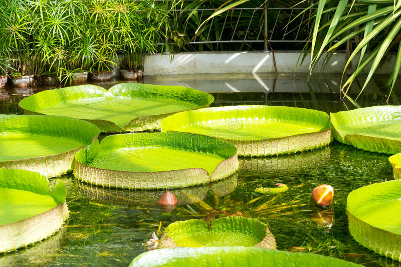 Giant tropical water lily leafs. Giant tropical Santa Cruz water lily (scientific name: Victoria Cruziana) in the greenhouse of Cluj-Napoca Botanical Garden stock photos
