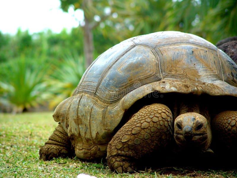 Giant Turtle, Mauritius stock photography