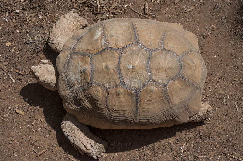 Giant Turtle royalty free stock photography