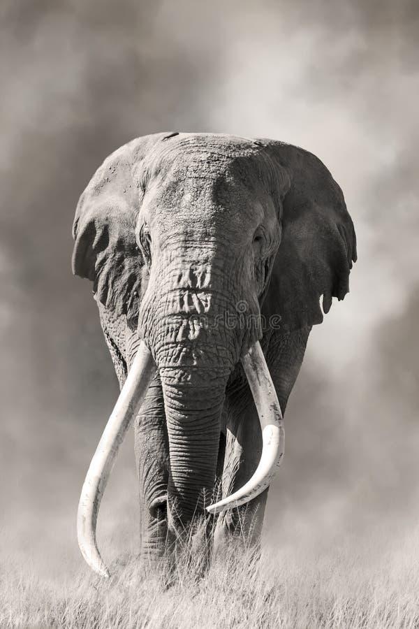 Giant tusked bull elephant in Amboseli, Kenya stock images