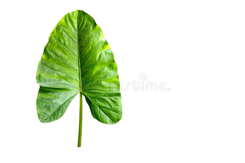 Giant Upright Elephant Ear or One big green tropical leaf from jungle isolated on white background. Copy space royalty free stock photography