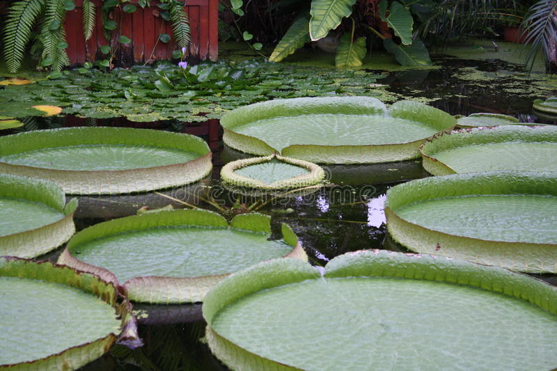 Giant Victoria lily pad pond royalty free stock photography