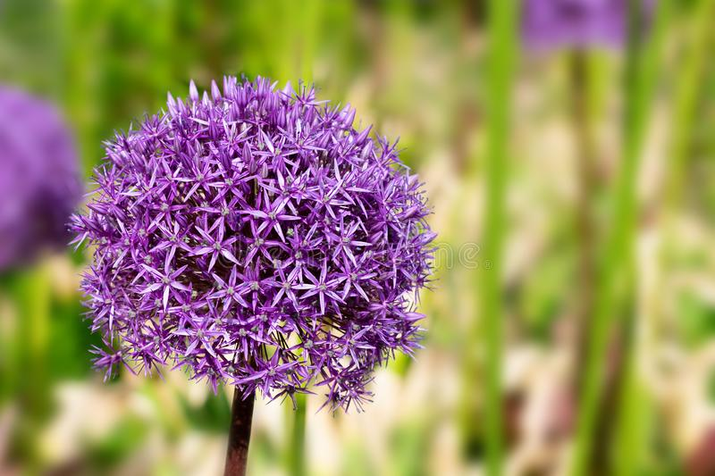 Giant violet allium flower on bright sunlights with bokeh background stock images