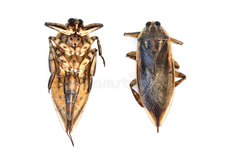 Giant water bug isolated. On white background stock photo