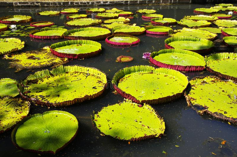 Giant water lilies in Sir Seewoosagur Ramgoolam Botanical Garden. Giant water lilies. Sir Seewoosagur Ramgoolam Botanical Garden, Pamplemousses, Mauritius royalty free stock photography