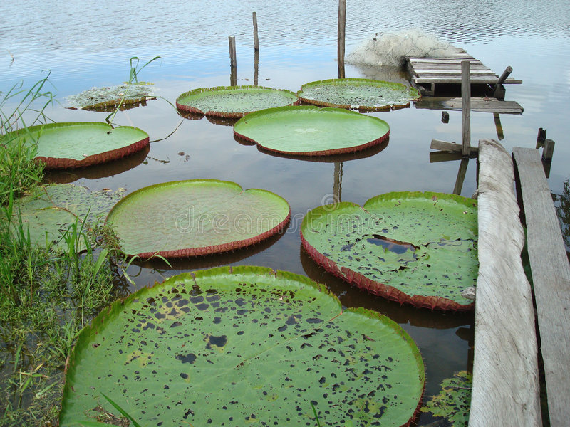 Giant water lily stock photography