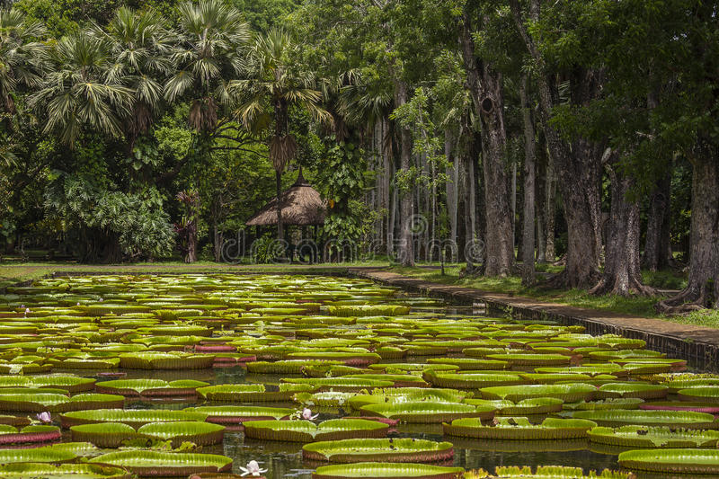 Giant water lily in Pamplemousse Botanical Garden. Island Mauritius stock photography