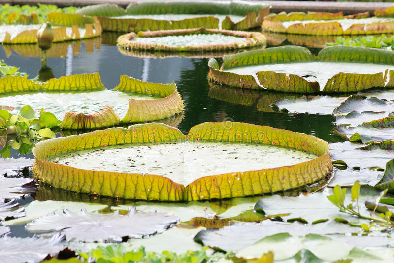 Giant water lily Victoria cruziana royalty free stock photos