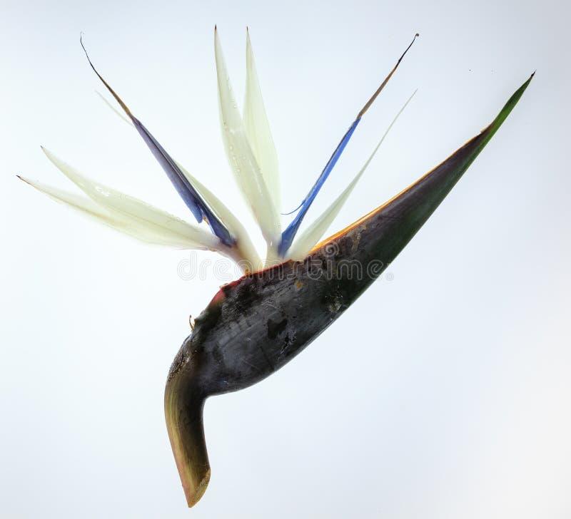 Giant white bird of Paradise flower royalty free stock image