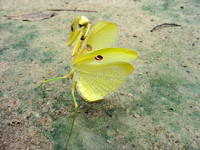 Giant Yellow Amazoninian Praying Mantis in Full Defensive Stance. One of a kind photo. royalty free stock photo