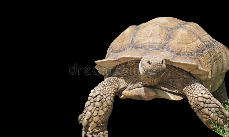 Giant Yellow-Footed Tortoise isolated on a black background stock image