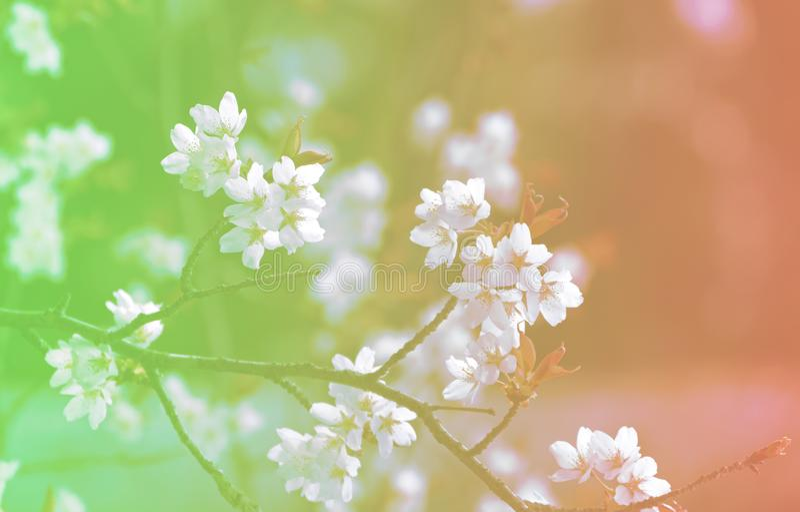 Giapponese famoso Sakura Cherry Blossom dei fiori del fondo fotografie stock libere da diritti