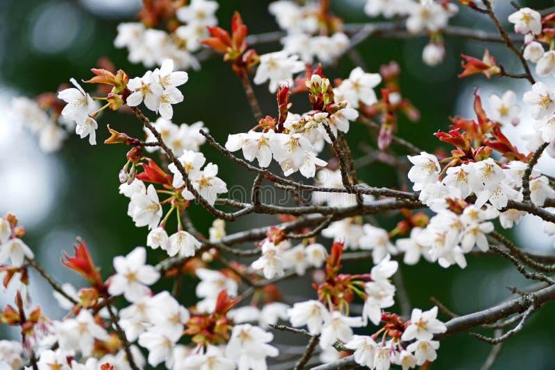 Giapponese rosa bianco Sakura Cherry Blossom immagini stock libere da diritti