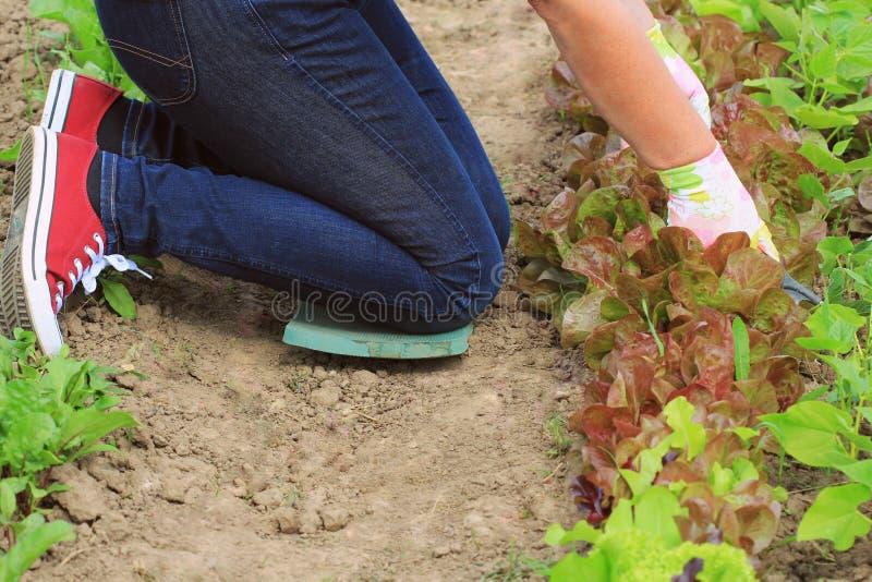 Giardinaggio La lavoratrice agricola prende la cura delle piante sulla piantagione immagini stock