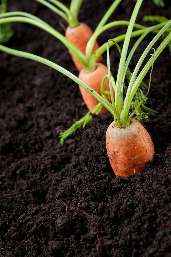 Giardinaggio organico delle carote fotografia stock libera da diritti