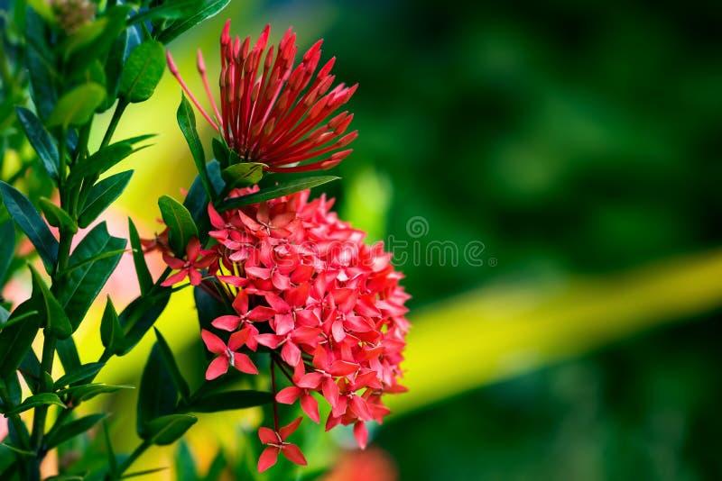 Giardinaggio tropicale di Trinidad e Tobago del fiore di coccinea di Ixora fotografie stock libere da diritti