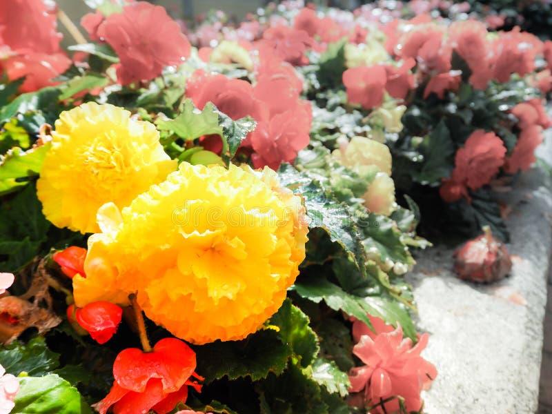 Giardinaggio urbano L'inverdimento delle città Lle begonie di fioritura di rosso e gialle nel letto di fiore Fiori di autunno immagine stock