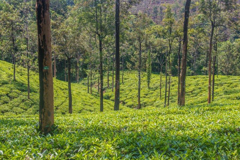 Giardini di tè o proprietà del tè alla stazione ooty della collina con le belle nuvole fotografia stock