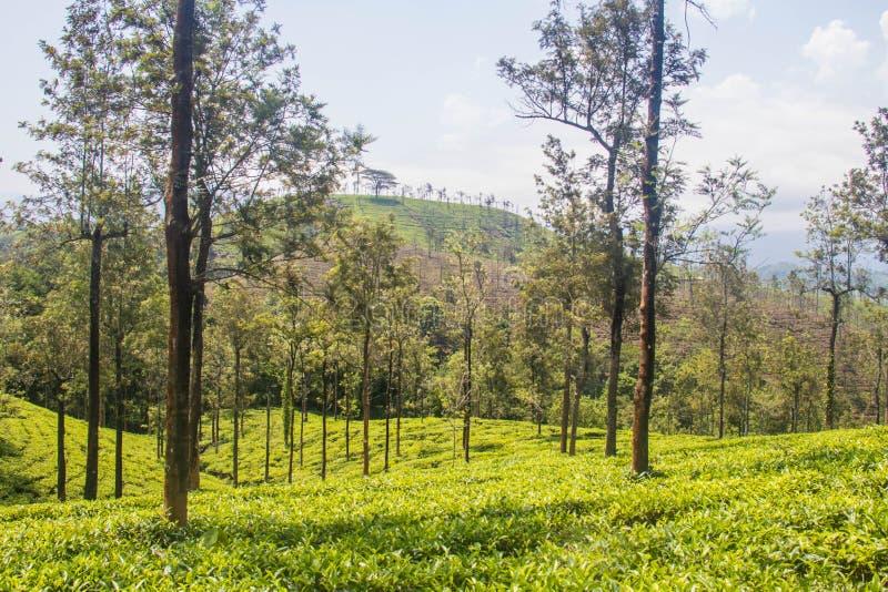 Giardini di tè o proprietà del tè alla stazione ooty della collina con le belle nuvole fotografie stock