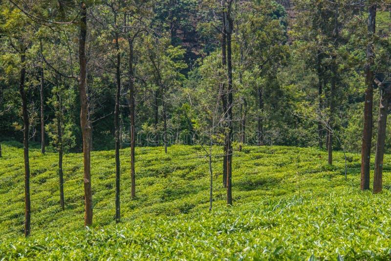 Giardini di tè o proprietà del tè alla stazione ooty della collina con le belle nuvole immagini stock libere da diritti
