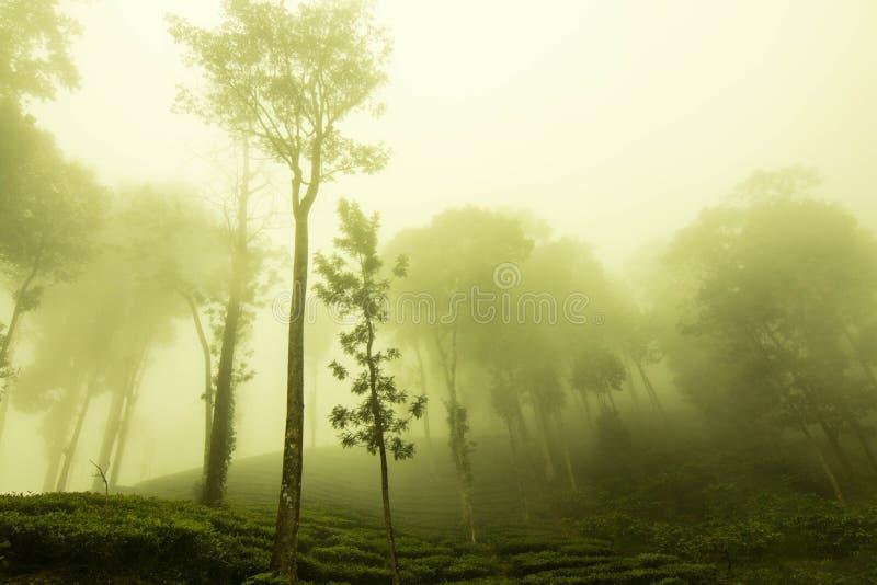 Giardini di tè di Ooty alla proprietà del tè confine del wayanad fotografie stock