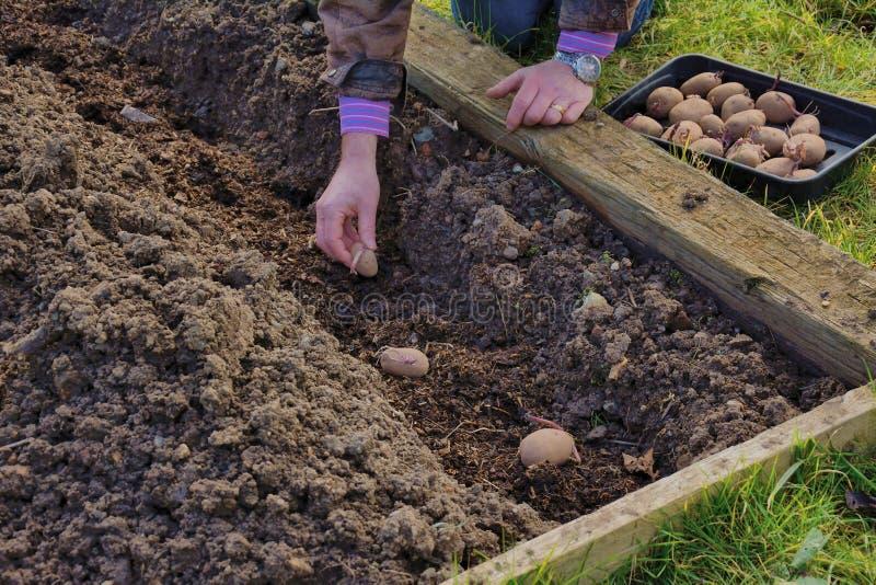 Giardiniere che pianta le patate fotografia stock libera da diritti