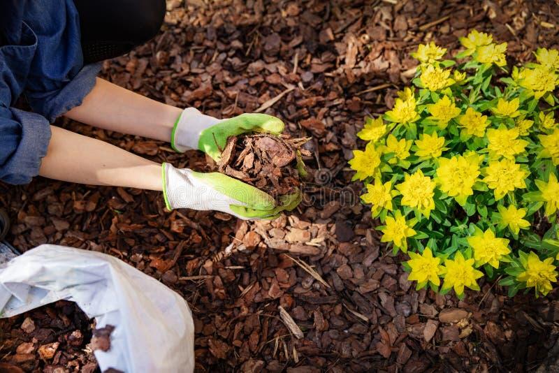 Giardiniere che ricopre il letto di pacciame di fiore con il pacciame della corteccia di albero fotografia stock libera da diritti