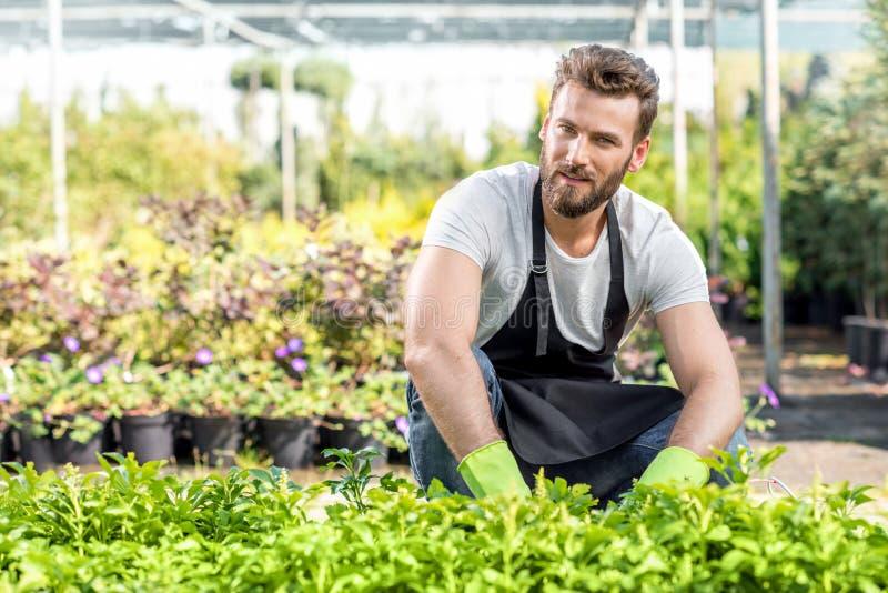 Giardiniere con piante verdi nel focolaio fotografia stock libera da diritti