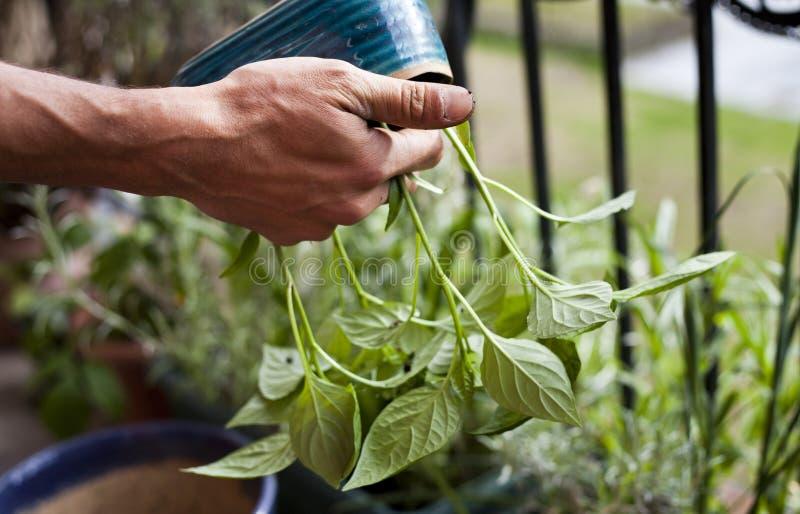 Giardiniere dell'uomo che trapianta le giovani piante del peperoncino ai pi? grandi vasi - attivit? di giardinaggio sul balcone s fotografia stock