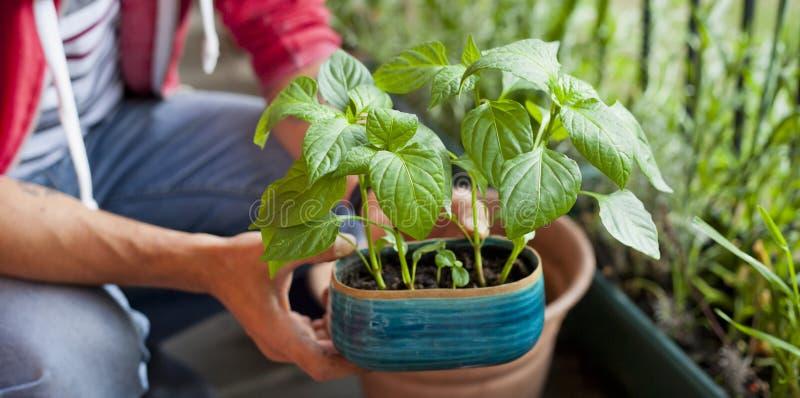 Giardiniere dell'uomo che trapianta le giovani piante del peperoncino ai pi? grandi vasi - attivit? di giardinaggio sul balcone s fotografia stock libera da diritti