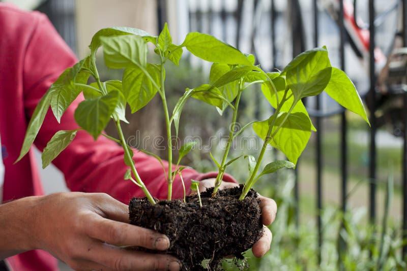 Giardiniere dell'uomo che trapianta le giovani piante del peperoncino ai pi? grandi vasi - attivit? di giardinaggio sul balcone s immagine stock libera da diritti