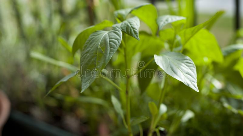 Giardiniere dell'uomo che trapianta le giovani piante del peperoncino ai pi? grandi vasi - attivit? di giardinaggio sul balcone s immagini stock libere da diritti