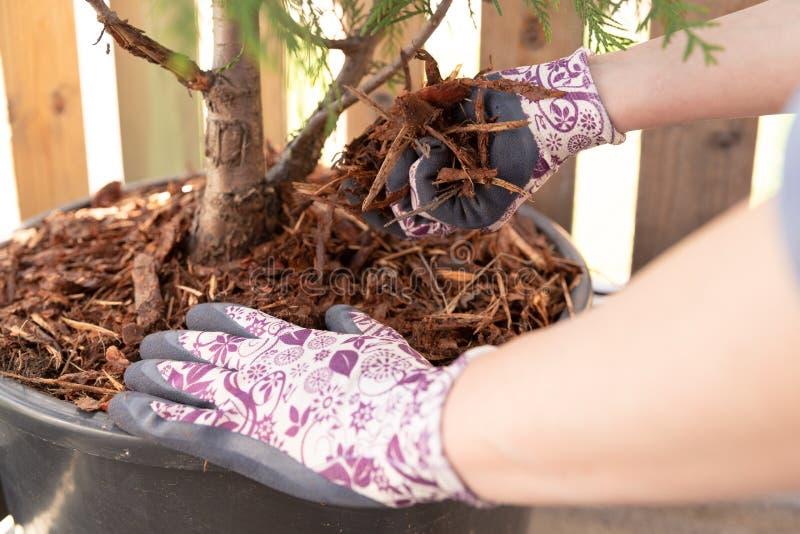 Giardiniere della donna che ricopre l'albero di pacciame del thuja del vasaio con il pacciame della corteccia di pino Giardinaggi fotografie stock libere da diritti