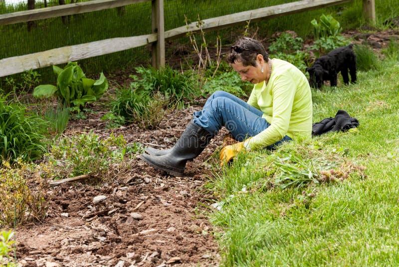 Giardiniere della signora che tir suare le erbacce in flowerbed immagine stock libera da diritti