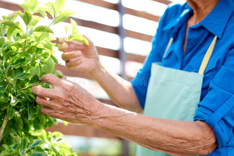 Giardiniere senior irriconoscibile fotografia stock
