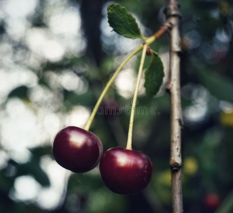 giardino all'aperto delle bacche della ciliegia di verde della foglia del primo piano del macro fondo rosso del bokeh immagini stock libere da diritti