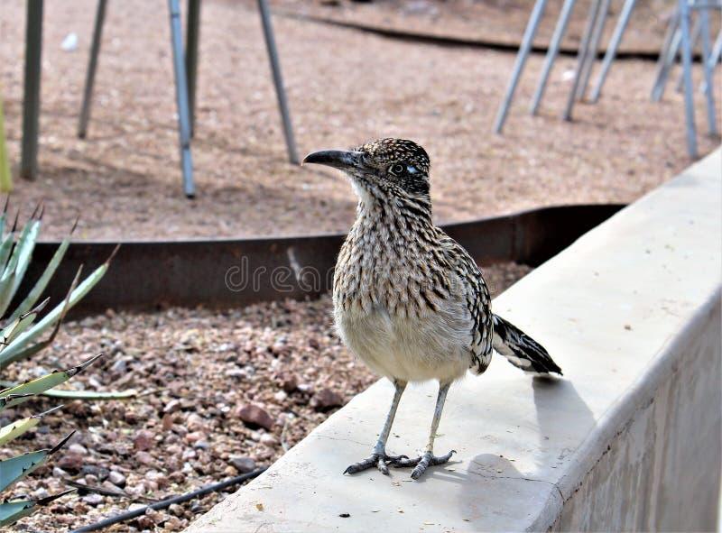 Giardino botanico Phoenix, Arizona, Stati Uniti del deserto del Roadrunner fotografia stock
