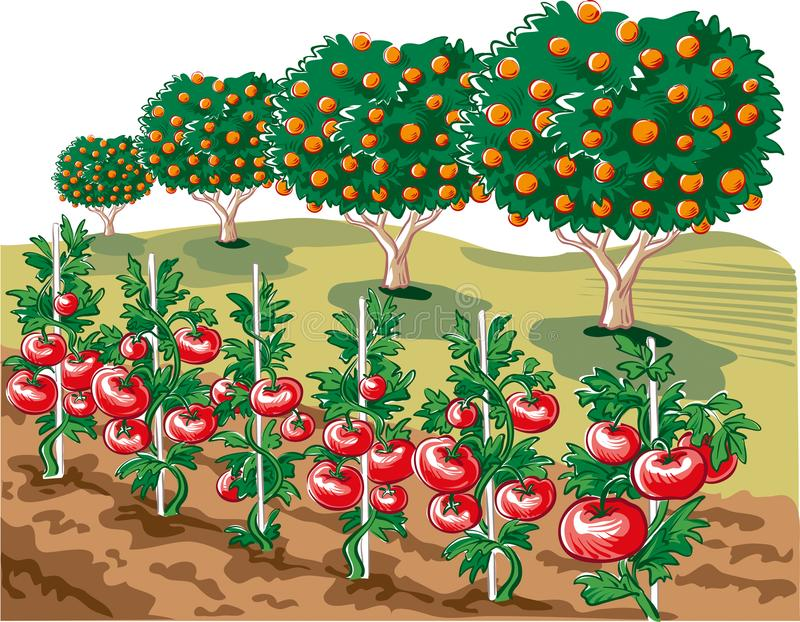 Giardino coltivato con le piante di pomodori illustrazione di stock