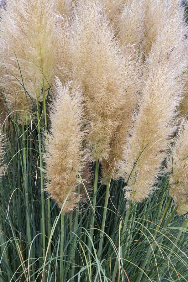 Giardino con il cespuglio dell'erba di pampa di fioritura immagine stock