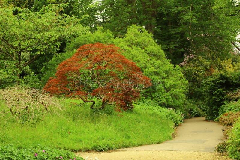 Giardino con l 39 albero di acero rosso giapponese fotografia for Acero rosso giapponese