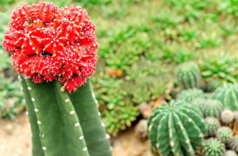 Download Giardino dei cactus immagine stock. Immagine di innesto - 30829425
