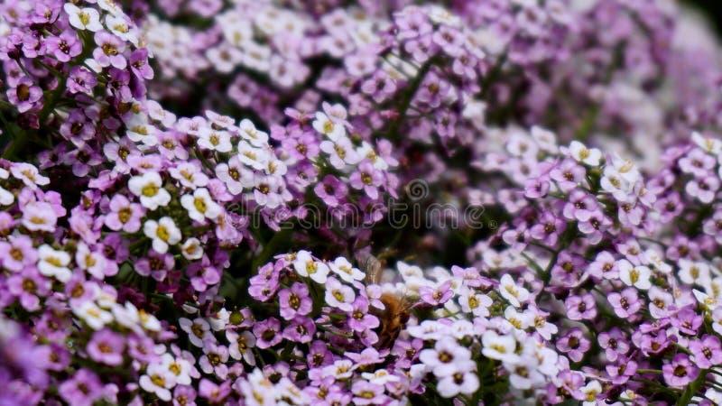 Giardino dei fiori porpora e bianchi immagini stock