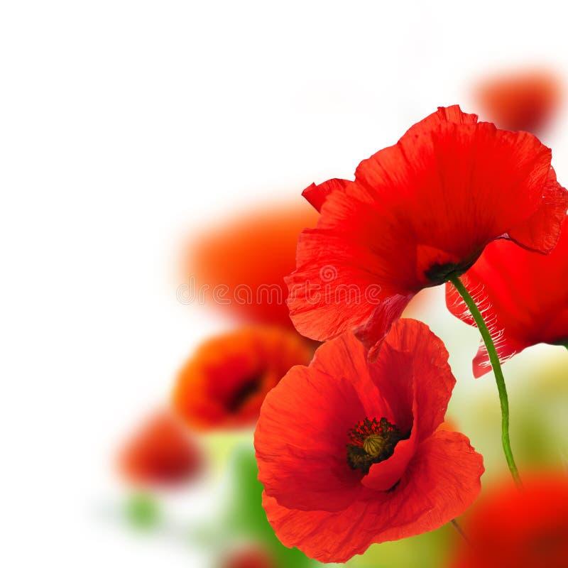 Giardino dei papaveri, priorità bassa del fiore immagine stock