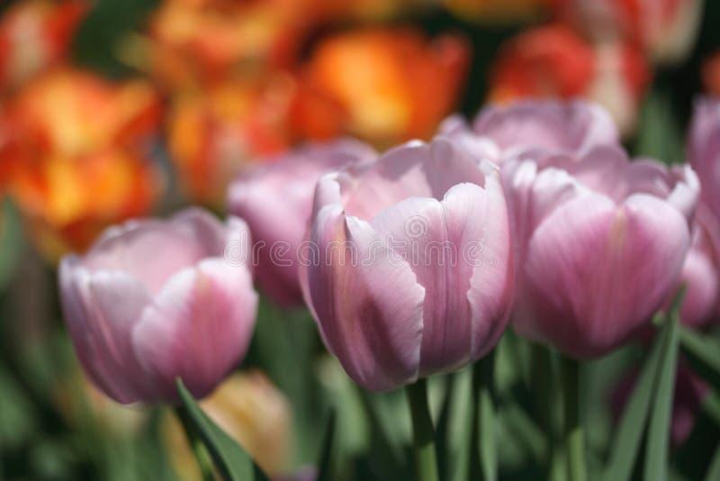 Giardino dei tulipani fotografie stock libere da diritti