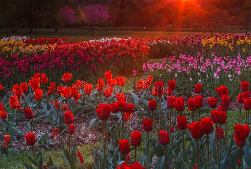 Giardino dei tulipani nell'incandescenza di alba immagine stock libera da diritti