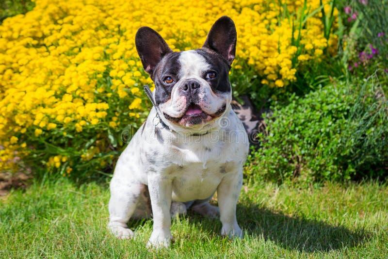 Giardino del bulldog francese in primavera fotografia stock libera da diritti