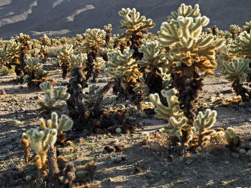 Giardino del cactus di Cholla nella sosta nazionale dell'albero di joshua fotografia stock